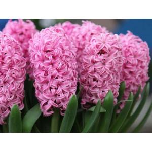 Гиацинт Pink Pearl, , 19.50 грн., 0022, , Гиацинты