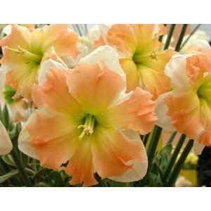 Нарцисс Apple Pie, , 31.90 грн., 04597, , Нарцис разнекорончатый