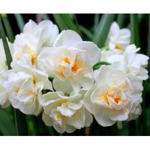 Нарцисс Cheerfulness, , 10.50 грн., 0059, , Нарцис многоцветковый