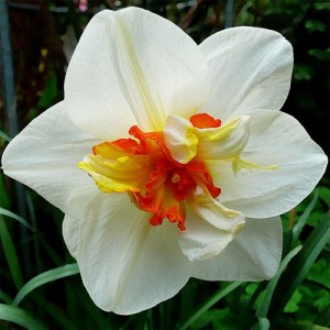 Нарцисс Flower Drift, , 15.00 грн., 0051, , Махровые нарциссы