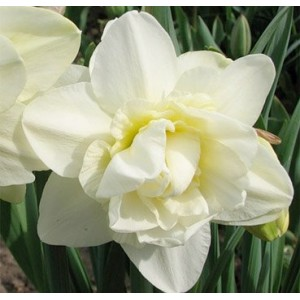 Нарцисс Obdam, , 13.50 грн., 0050, , Махровые нарциссы