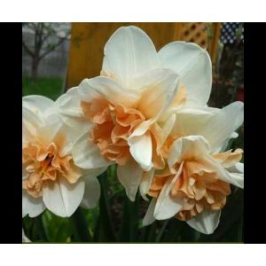 Нарцисс Rosy Cloud, , 18.00 грн., 0054, , Махровые нарциссы