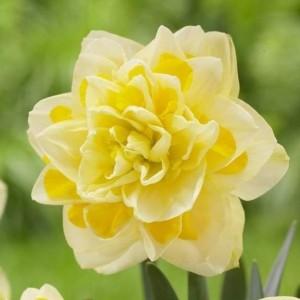 Нарцисс Sweet Pomponette, , 13.50 грн., 09874, , Махровые нарциссы