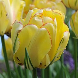 Тюльпан Akebono, , 16.00 грн., 05679, , Махровые поздние