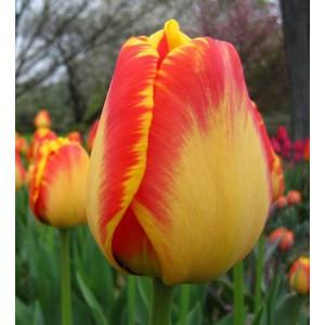 Тюльпан American Dream, , 11.20 грн., 0060, , Дарвиновы гибриды