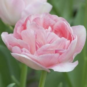 Тюльпан Angelique, , 17.60 грн., 09763, , Махровые поздние