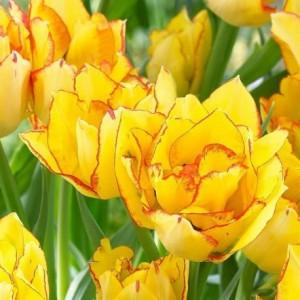 Тюльпан Aquilla, , 14.40 грн., 076533, , Махровые ранние