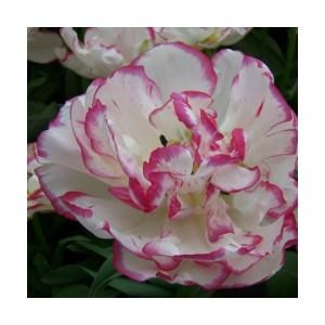 Тюльпан Belicia, , 14.40 грн., 0091, , Бахромчатые