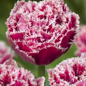 Тюльпан Brest, , 14.40 грн., 0094, , Бахромчатые