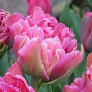 Тюльпан Chato, , 16.00 грн., 024909, , Махровые поздние