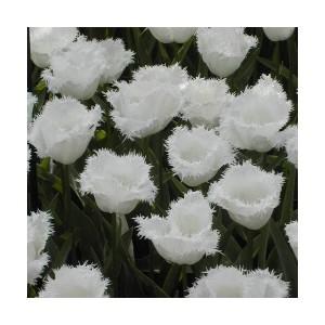 Тюльпан Honeymoon, , 14.40 грн., 0097, , Бахромчатые