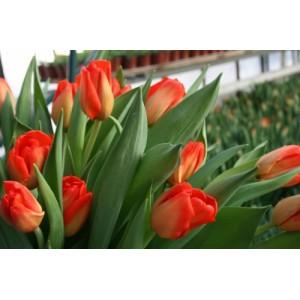 Тюльпан Lalibela, , 11.20 грн., 09876, , Дарвиновы гибриды