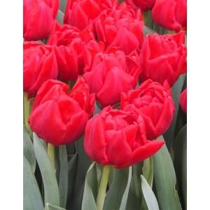 Тюльпан Largo, , 12.80 грн., 09876, , Махровые ранние