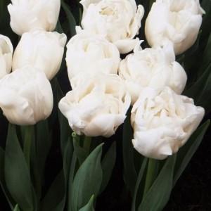 Тюльпан Mondial, , 12.80 грн., 0075, , Махровые ранние