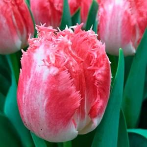 Тюльпан Neglige, , 19.20 грн., 03156, , Бахромчатые