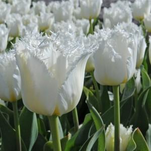 Тюльпан North Pole, , 16.00 грн., 01670, , Бахромчатые