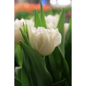 Тюльпан Northcap, , 16.00 грн., 09874, , Махровые ранние