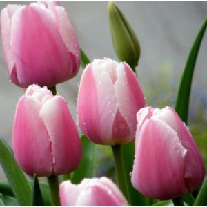 Тюльпан Ollioules, , 12.80 грн., 09875, , Дарвиновы гибриды