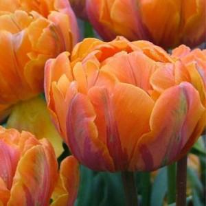 Тюльпан Orange Princess, , 8.00 грн., 0093, , Махровые поздние