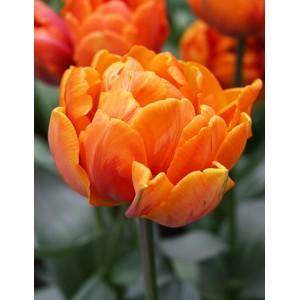 Тюльпан Orca, , 14.40 грн., 0078, , Махровые ранние