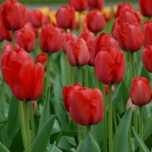 Тюльпан Red Impression, , 11.20 грн., 0068, , Дарвиновы гибриды