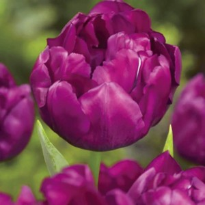 Тюльпан Royal Acres, , 12.80 грн., 03456, , Махровые ранние
