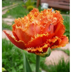 Тюльпан Sensual Touch, , 19.20 грн., 03957, , Бахромчатые