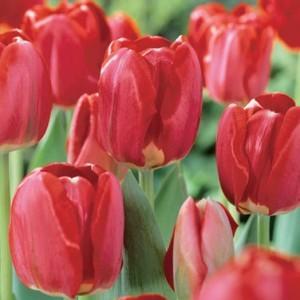 Тюльпан Spring Song, , 9.60 грн., 09876, , Дарвиновы гибриды