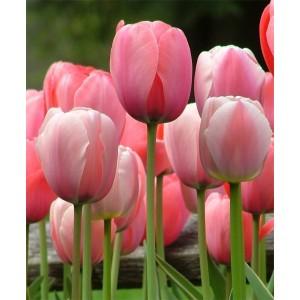 Тюльпан Pink Impression, , 11.20 грн., 09876, , Дарвиновы гибриды