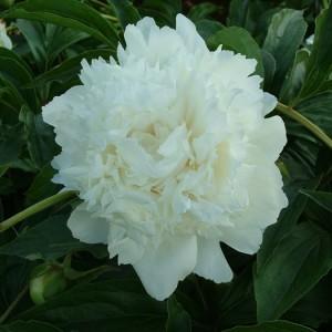 Пион (Paeonia)Alba Plena, , 190.50 грн., 00334, , Пионы