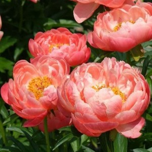 Пион (Paeonia) Сoral Sunset, , 198.00 грн., 00148, , Пионы