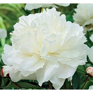 Пион (Paeonia) Double White, , 104.00 грн., 00361, , Пионы