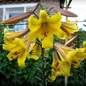 Трубчастая лилия Golden Splendour, , 26.00 грн., 0052, , Трубчатые лилии