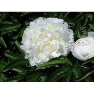 Пион (Paeonia) Henry Sass, , 463.00 грн., 00344, , Пионы