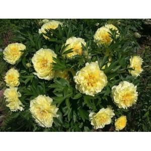 Пион (Paeonia) Itoh Bartzella  , , 291.00 грн., 00346, , Пионы