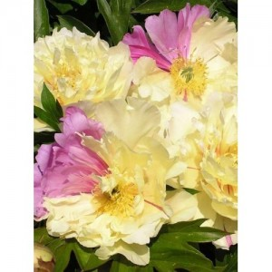 Пион (Paeonia) Itoh Lemon Dream, , 670.00 грн., 00352, , Пионы
