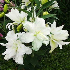 Лилия восточный гибрид махровый Lotus Beauty, , 41.50 грн., 6534, , Восточные гибриды