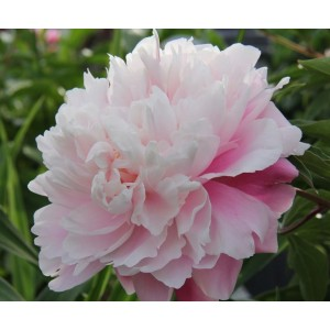 Пион (Paeonia) Morning Kiss®, , 244.00 грн., 00357, , Пионы