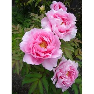 Пион деревовидный Suffriticosa Light Pink 3 роки, , 437.00 грн., 76542, , Деревовидный пион