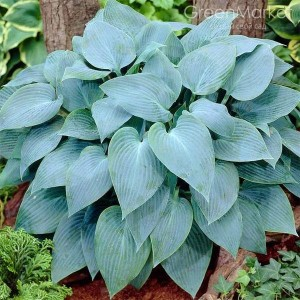 Хоста (Hosta)	Canadian Blue
