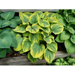 Хоста (Hosta)	Clifford's Forest Fire®, , 153.90 грн., 00371, , Хосты