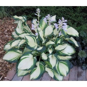 Хоста (Hosta)	Dancing in the Rain®, , 179.00 грн., 00373, , Хосты