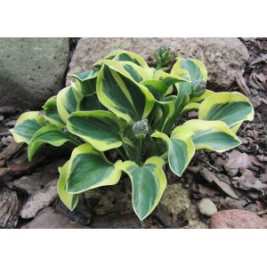 Хоста (Hosta)	Lucky Mouse®, , 267.00 грн., 00379, , Хосты