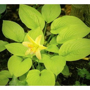 Хоста (Hosta)	Miracle Lemony, , 318.00 грн., 00380, , Хосты