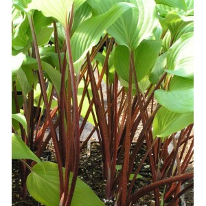 Хоста (Hosta)	Red Stepper, , 59.00 грн., 00383, , Хосты