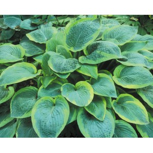 Хоста (Hosta)	Yellow Halleluja, , 103.30 грн., 00389, , Хосты