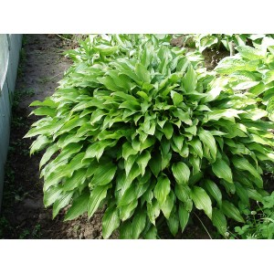 Хоста Lancifolia