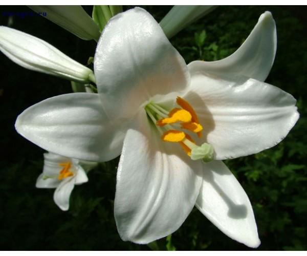 Лилия лонгифлорум Snowqueen